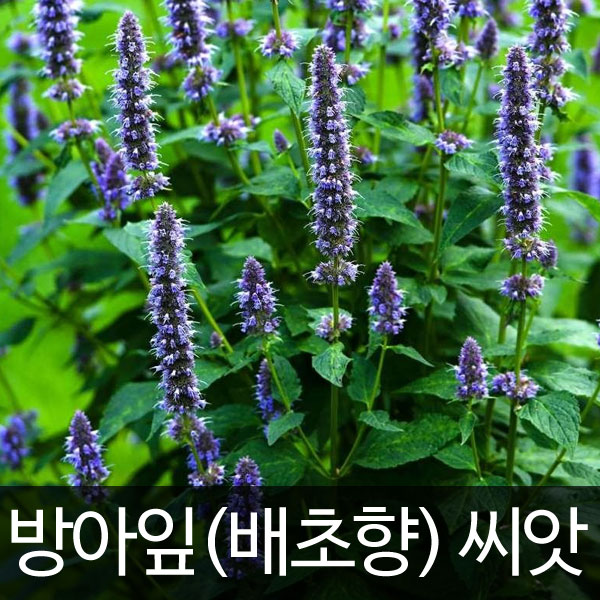 agastache rugosa seed (1g)
