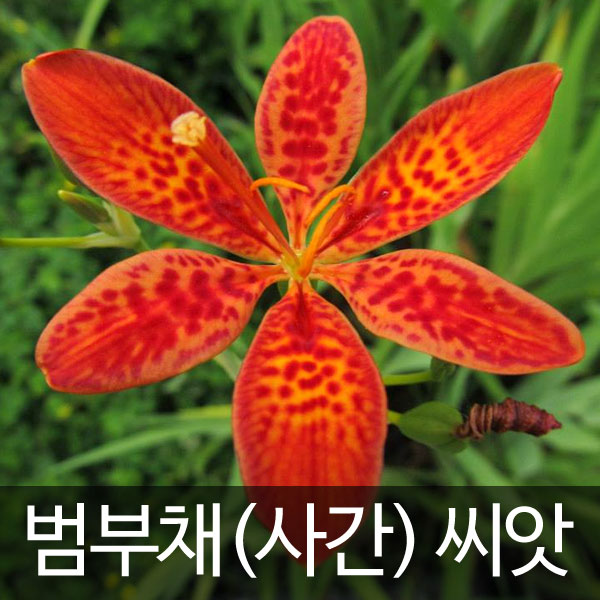 blackberry lily seed (3g)