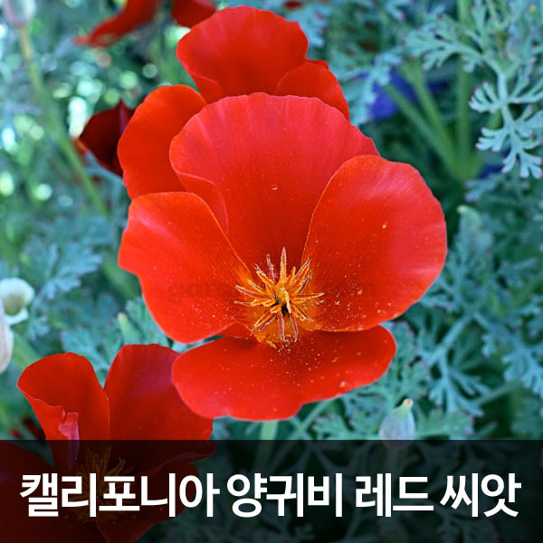 california poppy red seed (100 seeds )