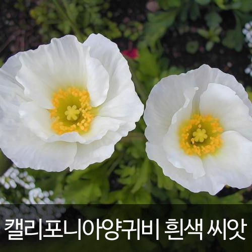 white california poppy seed (100 seeds)