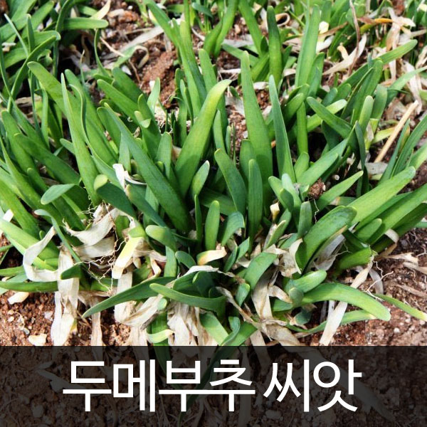 korean chive seed  ( 100 seeds )