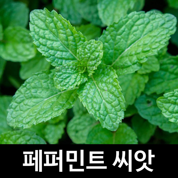 peppermint seed (300 seeds)