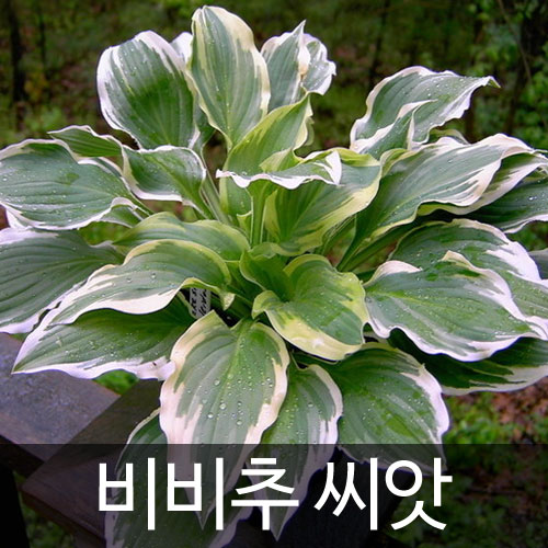 hosta longipes seed (20 seeds)
