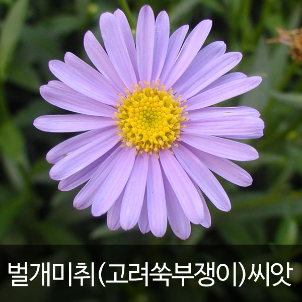 korean starwort seed (500 seeds)