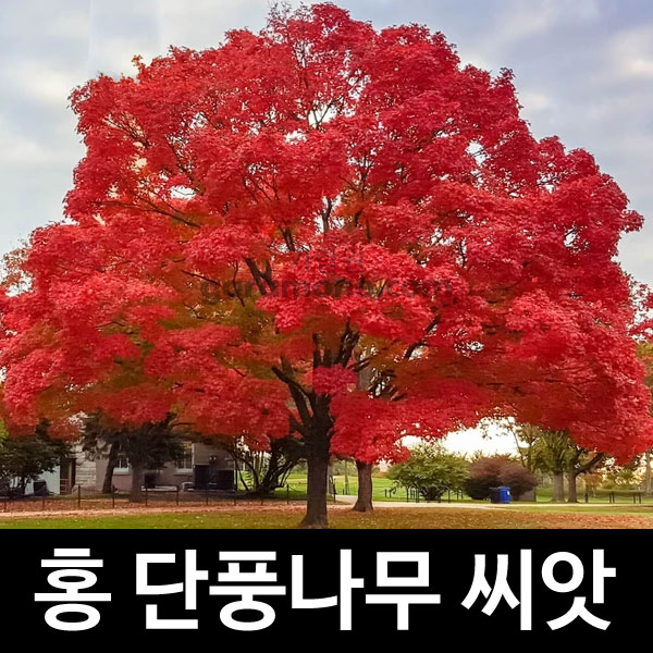 red maple seed ( 100 seeds )