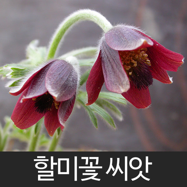 korean pasque flower seed (50 seeds)