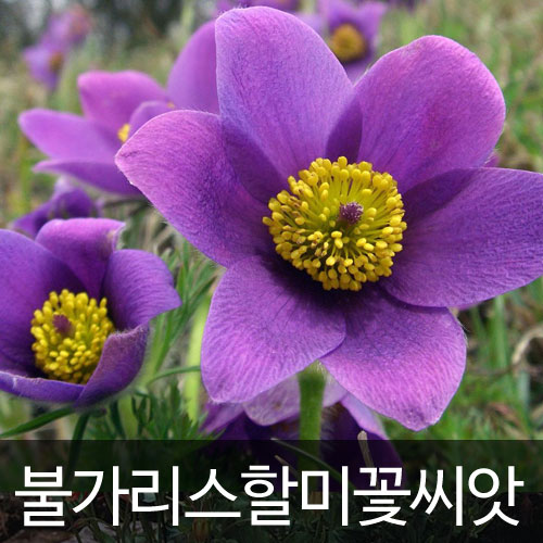 pulsatilla vulgaris pasque flower (30 seeds)