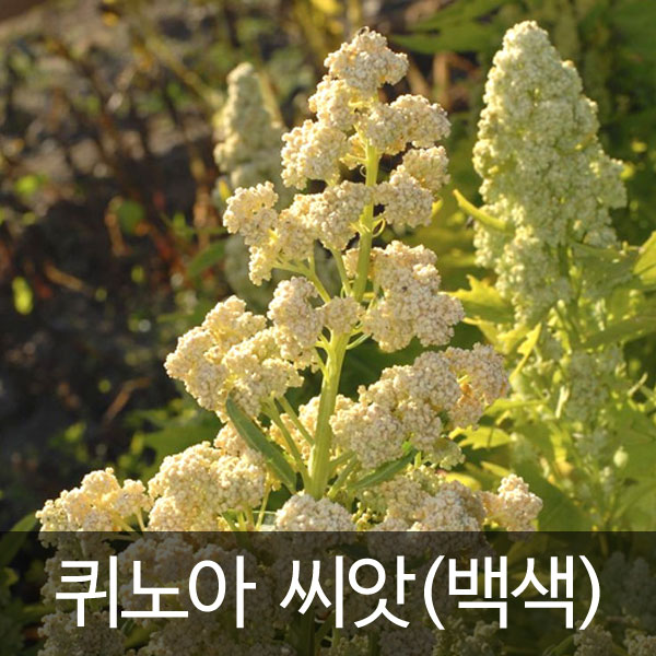 white quinoa seed (400 seeds)