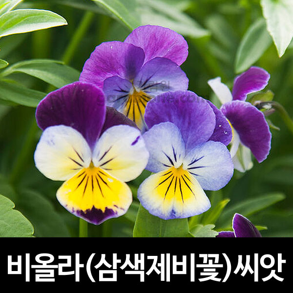 mix viola / pansy seed (1000 seeds)