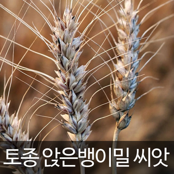 korean wheat seed (500 seeds)