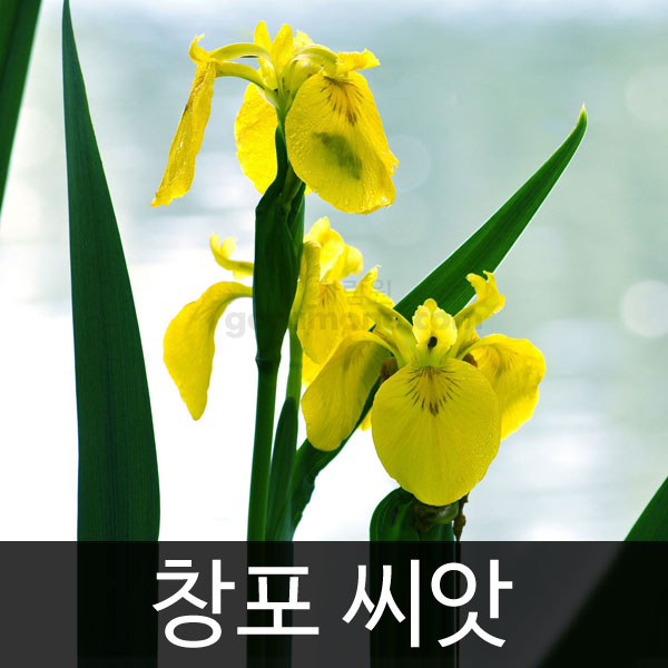 yellow iris seed (20 seeds)